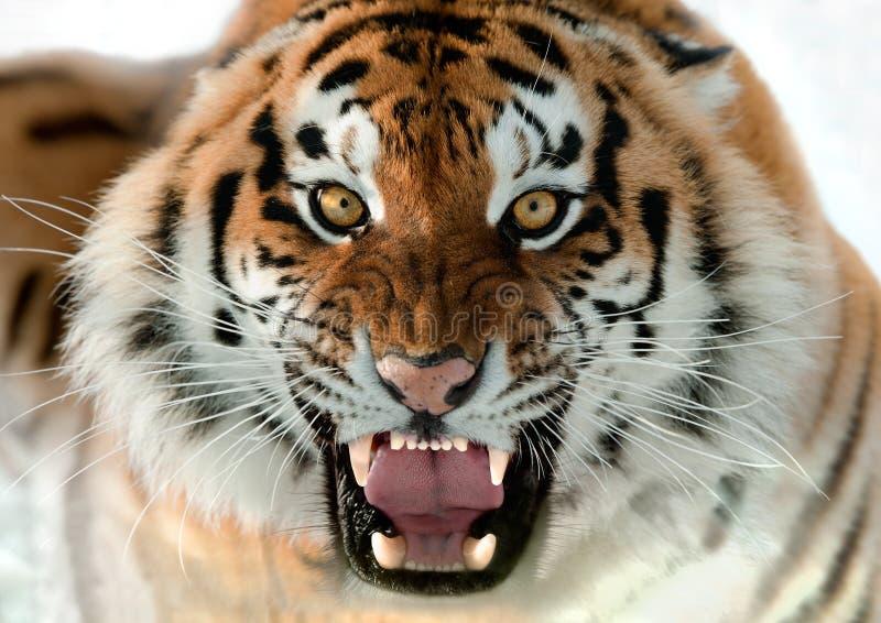 Siberian brumma för tiger royaltyfri fotografi