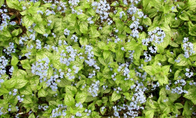 Download Siberian Bugloss Or Brunnera Macrophylla Blue Flowers Stock Photo - Image of jack, nobody: 115491594