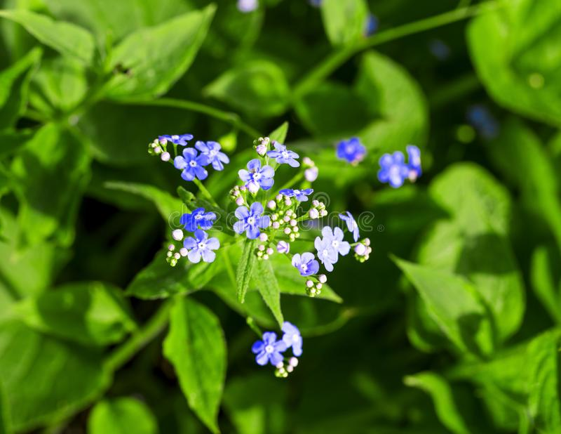 Siberian bugloss flower or forget-me-nots with leaf in the garden stock photos