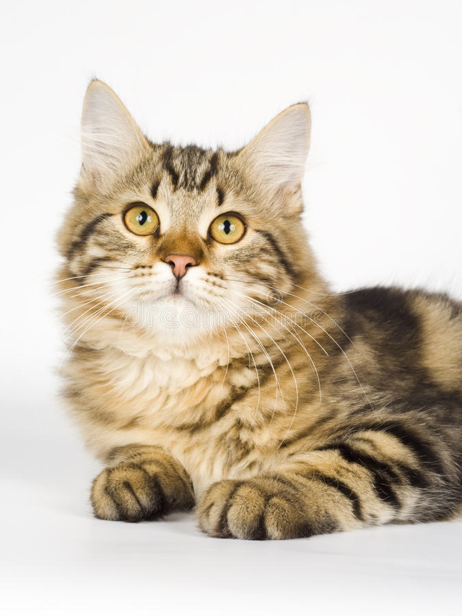 Siberian cat. Kitten animals feline cute royalty free stock photography