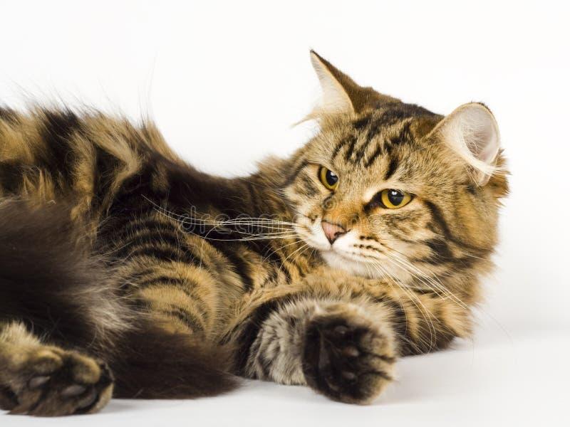 Siberian cat. Kitten animals feline cute stock photos