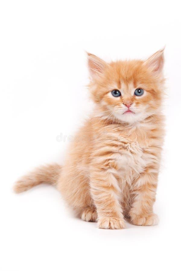 Siberian cat. Isolated on white stock photo