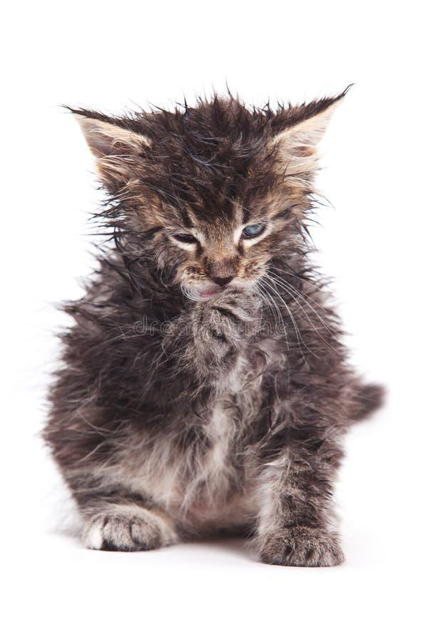 Download Siberian Cat Stock Image - Image: 17812481