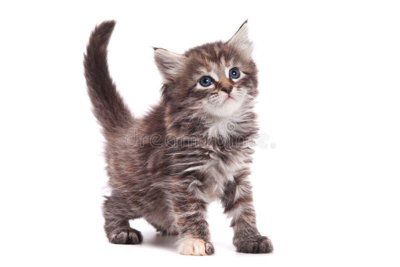 Siberian cat. Isolated on white stock photos