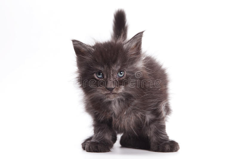 Download Siberian cat stock image. Image of front, background - 17855799