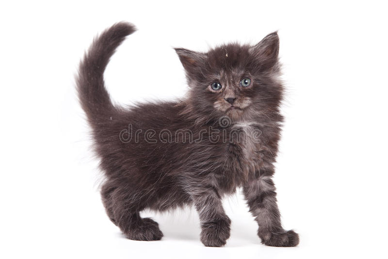 Download Siberian cat stock image. Image of kitty, baby, siberian - 17910563