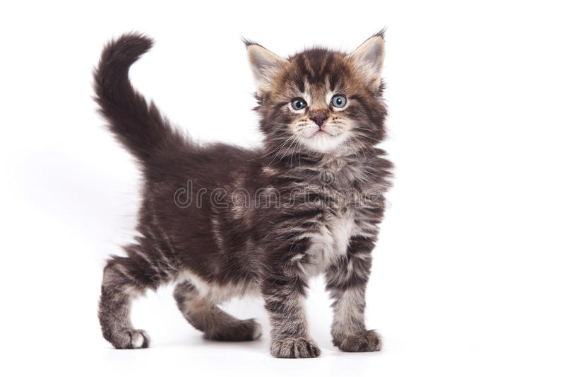 Siberian cat. Isolated on white royalty free stock photo