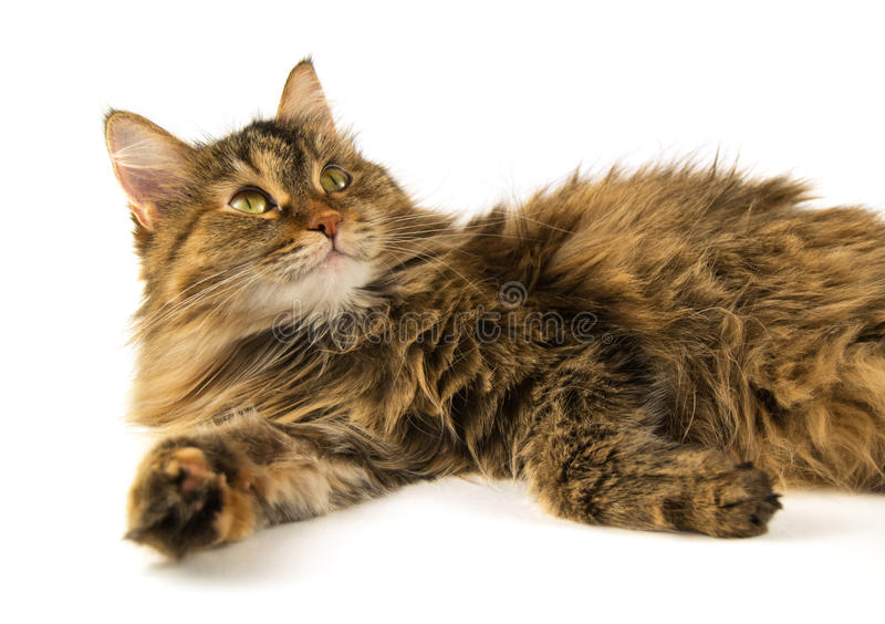 Siberian cat. Siberian woolly cat on a white background stock photos