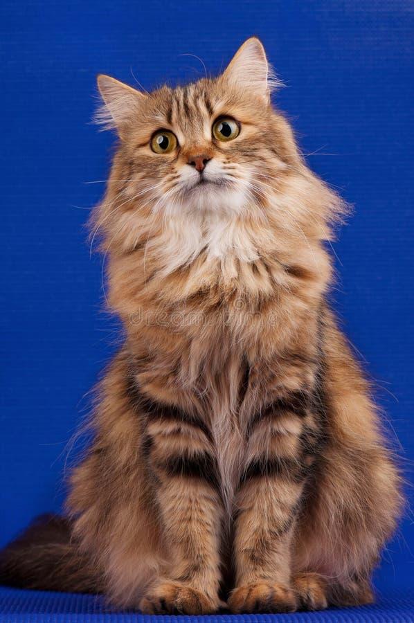 Download Siberian cat stock photo. Image of curiosity, feline - 37678286