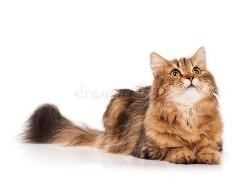 Siberian cat. Siberian beautiful adult cat over white background stock photos
