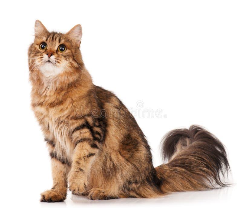 Siberian cat. Siberian beautiful adult cat over white background stock image