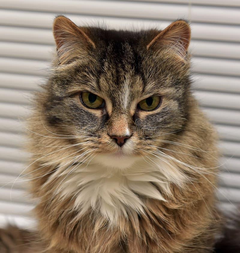 Siberian cat. Beautiful fluffy Siberian cat Russian royalty free stock photo