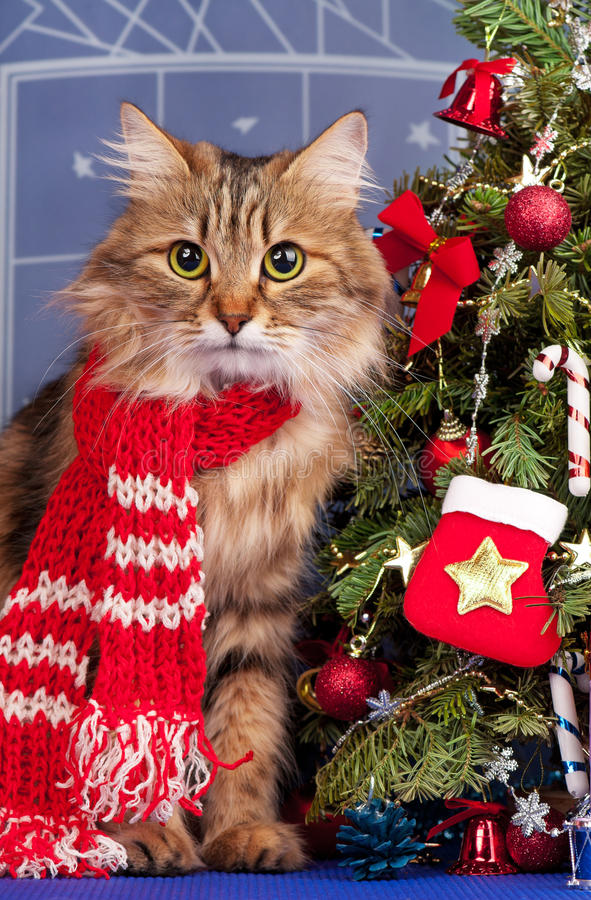 Siberian cat. Beautiful siberian cat near Christmas spruce with gifts and toys over blue background stock photos