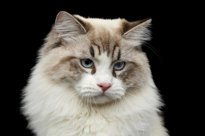 Siberian cat with blue eyes on isolated black background royalty free stock images