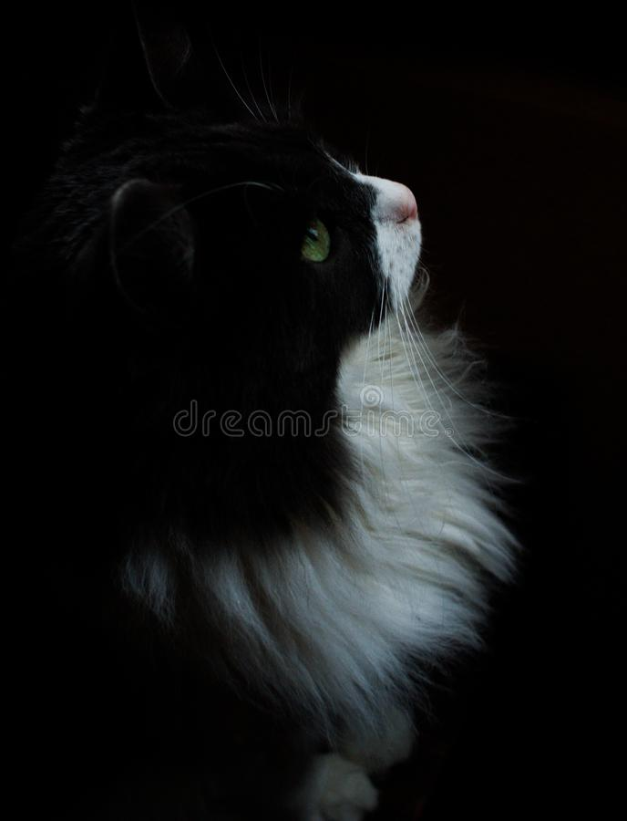 Siberian cat. Is a breed of semi-longhaired cats.  has a long thick and very warm coat that does not allow moisture and perfectly protects from the cold, medium royalty free stock photo