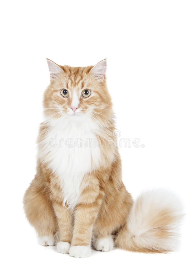 Siberian cat (Bukhara cat). On a white background in studio royalty free stock photography