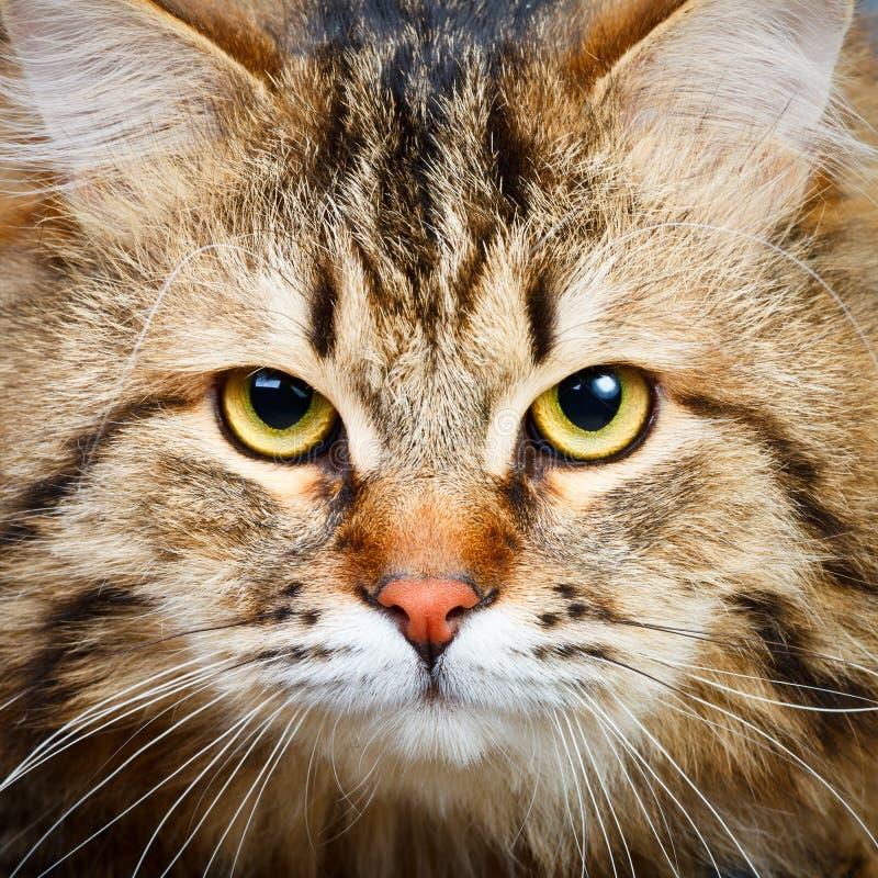 Siberian cat stock image