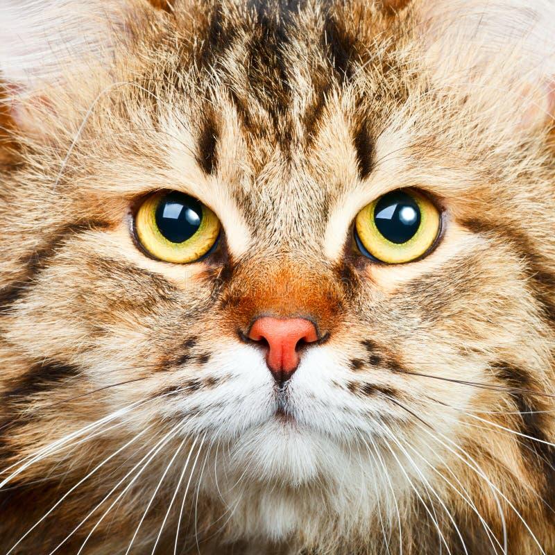 Siberian cat. Close-up portrait of Siberian cat royalty free stock image