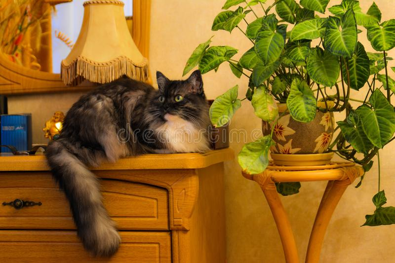 Siberian cat on the dresser royalty free stock photography