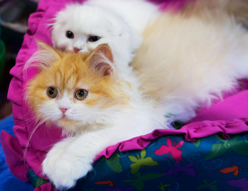 Siberian cat. The Siberian cat has a long thick and very warm wool that does not absorb moisture and perfectly protects from cold, medium size ears, fluffy tail stock photo