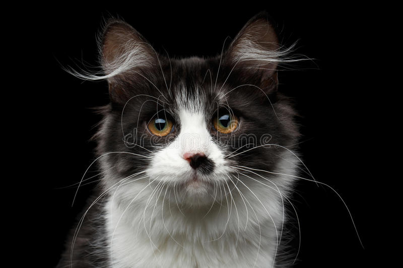 Siberian cat on isolated black background. Close-up portrait of cute Black with white Siberian Cat with spot on nose isolated black background, front view stock photos