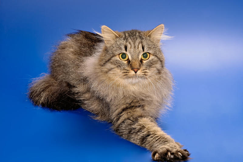 Siberian cat with let out claws stock photo