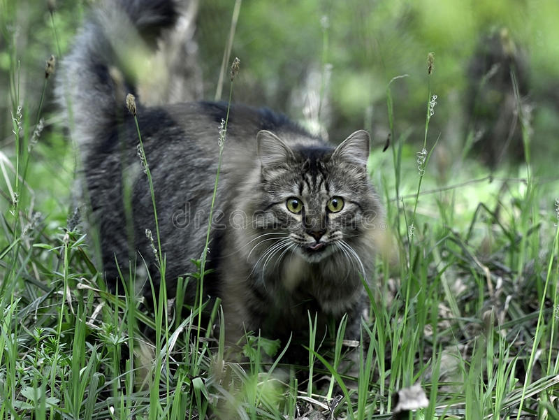 The Siberian cat stock image
