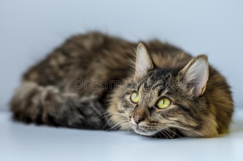 Siberian brown cat curled up in a ball looked up in anticipation of a miracle. Siberian cat looks up with interest stock photos