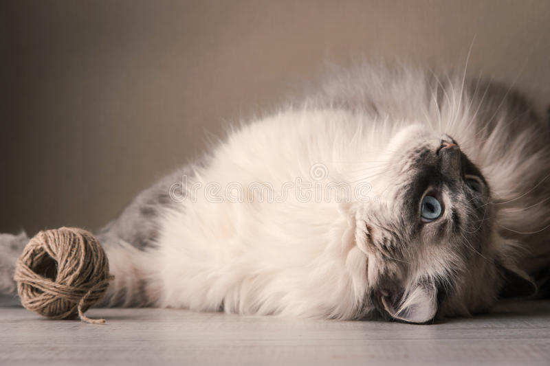 Siberian cat playing with clew. Siberian playing cat with clew horizontal stock image
