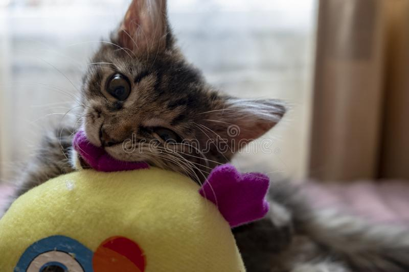 Siberian cat playing with a soft toy, close-up stock photo