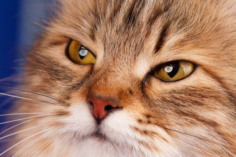 Siberian cat. Portrait of a siberian beautiful adult cat close-up royalty free stock image