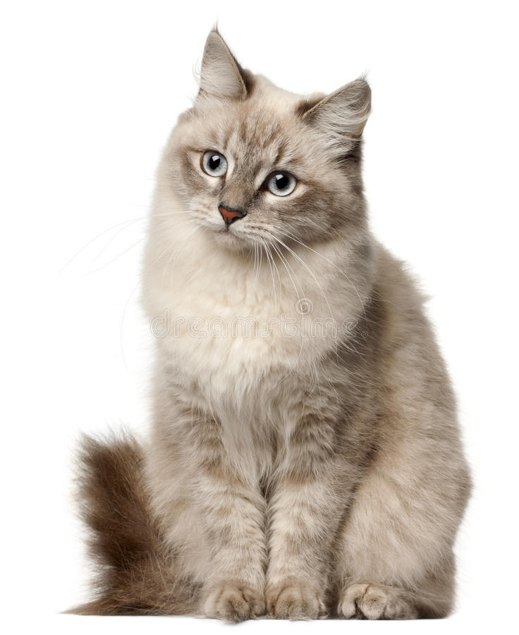 Siberian cat, sitting in front of white background royalty free stock photo