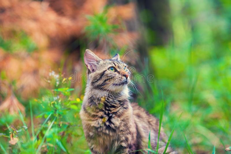 Siberian cat walking in the grass royalty free stock photos