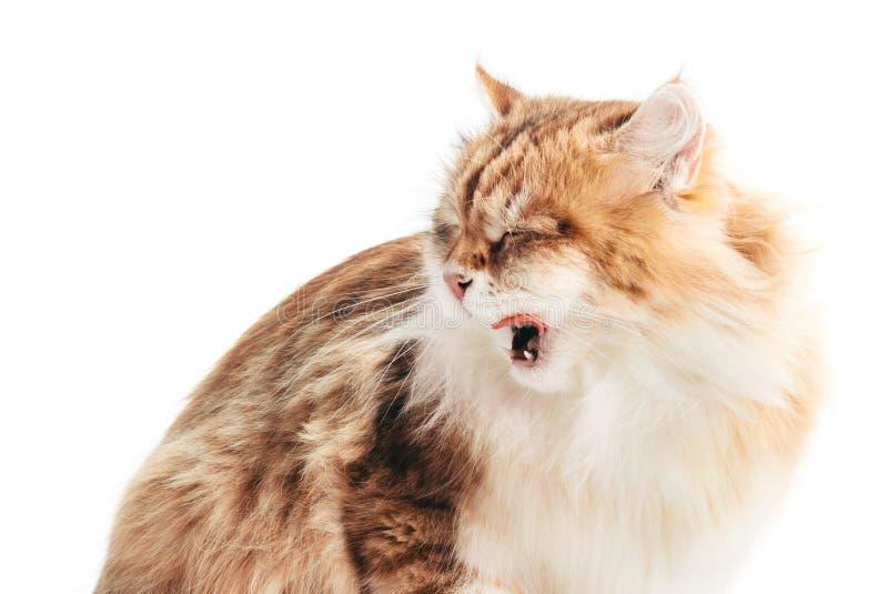 Siberian cat yawning, isolated on white background royalty free stock photos