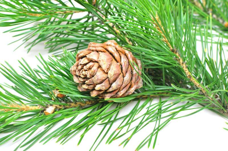 Siberian cedar stock images