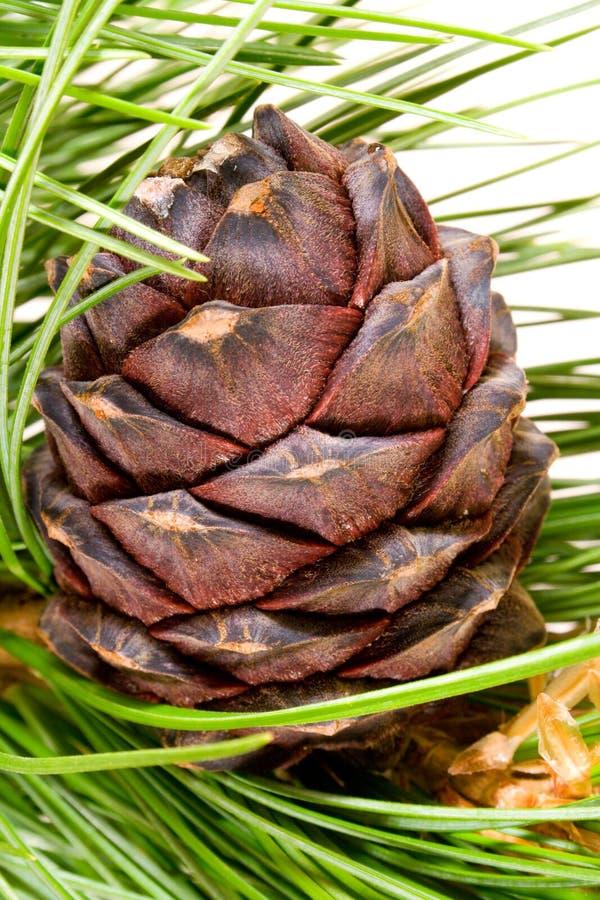 Free Siberian Cedar Branch Royalty Free Stock Images - 3072429