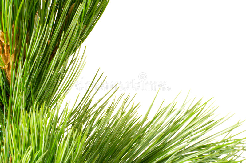 Download Siberian Cedar Branch Stock Photo - Image: 3143890