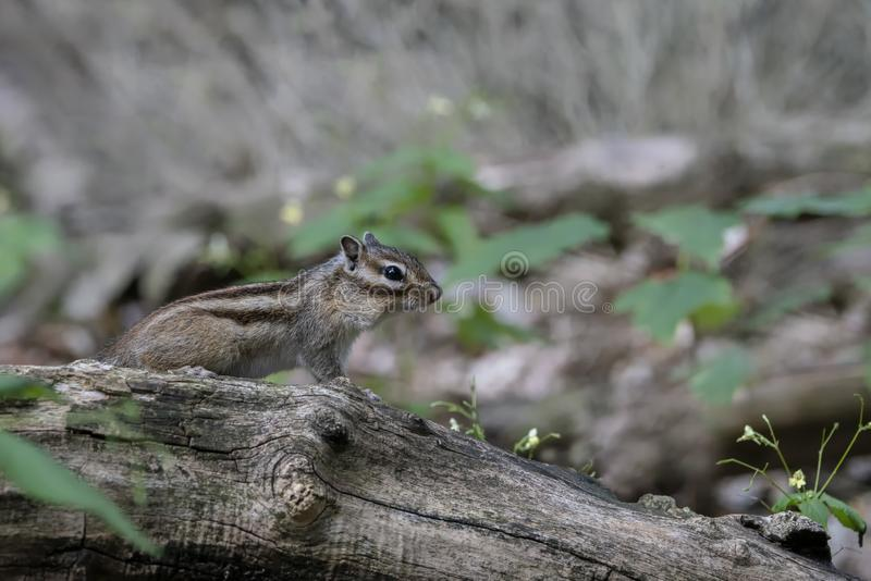 Siberian Chipmunk Eutamias sibiricus on a branch in the forest of Tilburg in the Netherlands. stock photo
