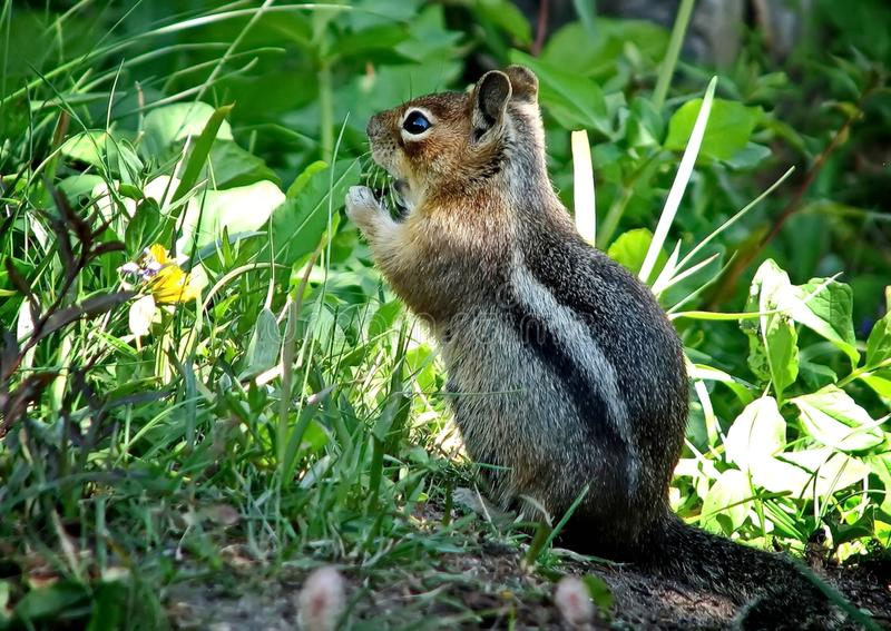 Siberian chipmunk Latin Tamias sibiricus. The chipmunks include 25 species, most of which live in North America stock images