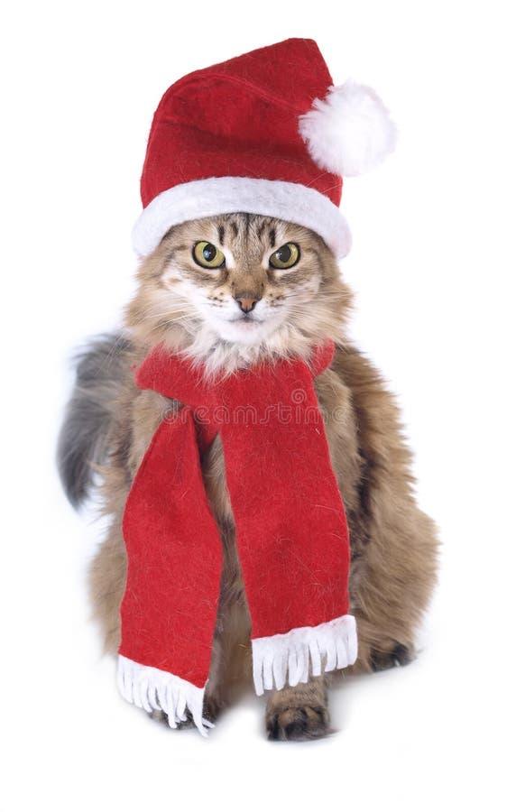 Siberian Christmas cat. Isolated on white background royalty free stock photo