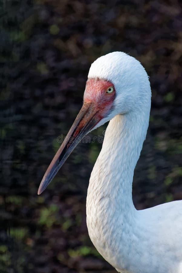https://thumbs.dreamstime.com/b/siberian-crane-leucogeranus-leucogeranus-also-known-as-siberian-white-crane-snow-crane-bird-family-gruidae-107363082.jpg