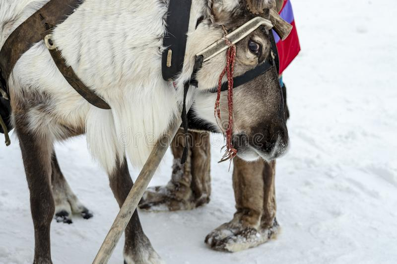 Siberian deer in harness with sleigh stock photo