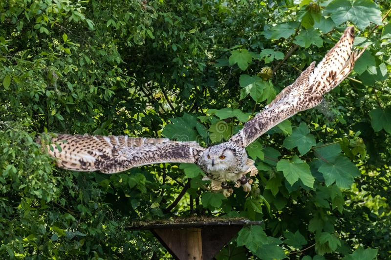 Siberian eagle owl, bubo bubo sibiricus. The biggest owl in the world stock photos