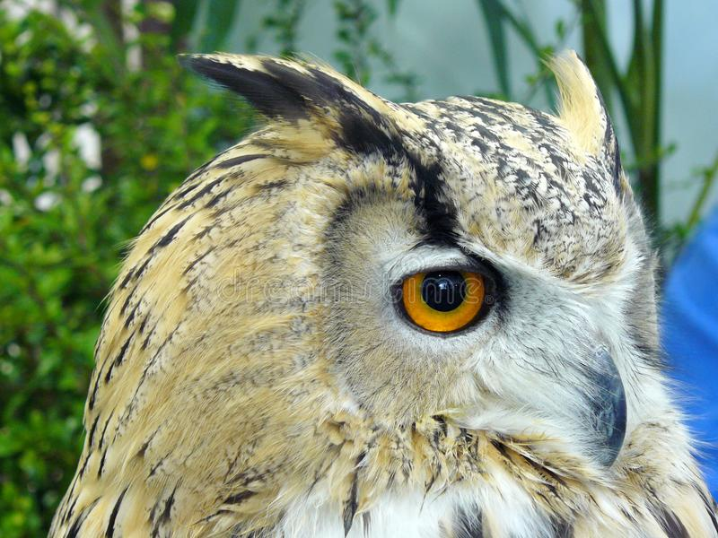 Siberian Eagle Owl. Close up of Siberian Eagle Owl ( Bubo bubo sibiricus ) it is one of largest species of owl and sub species of European eagle owl stock image