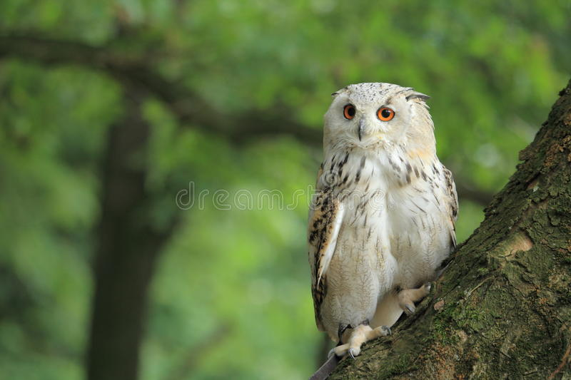 Siberian eagle owl. Sitting on the tree royalty free stock images