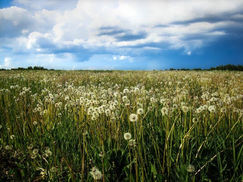 Siberian fält av maskrosor royaltyfria foton