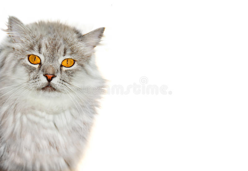 Download Siberian fluffy cat stock photo. Image of furry, soft - 24035550