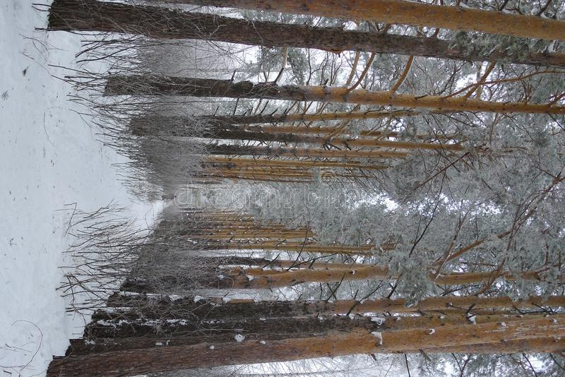 Siberian Forest Royalty Free Stock Image