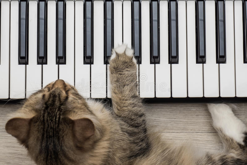 Siberian Forest Cat playing MIDI controller keyboard synthesizer royalty free stock photography