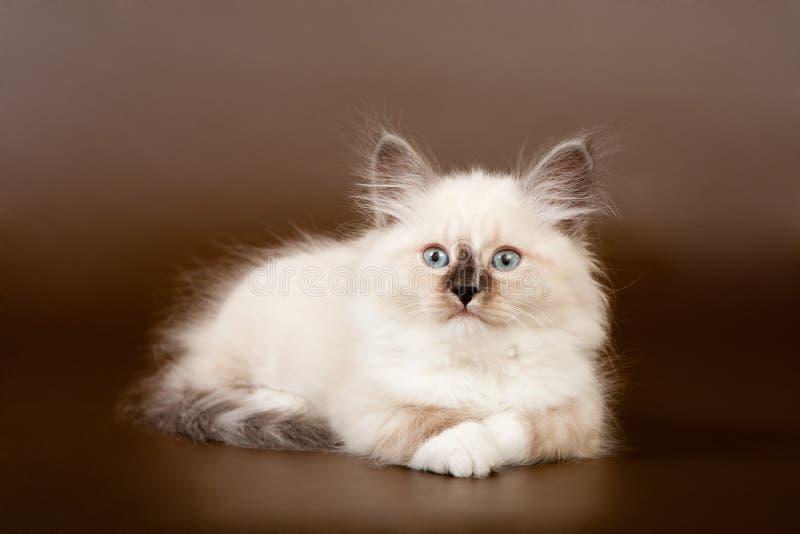 Siberian forest kitten stock photo